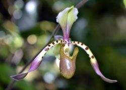 Lady Slipper Orchid (Cypripedioideae) Photo