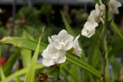 Dove Orchid Photo