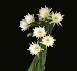 Night-Blooming Cereus Photo