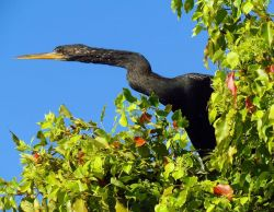 Anhinga Photo
