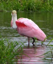 Spoonbills Photo