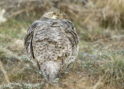 The Sage Grouse Photo