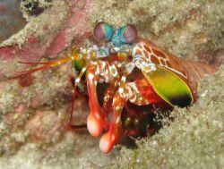 Mantis Shrimp Photo