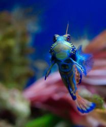 Mandarinfish Photo
