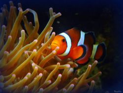 Clownfish Photo