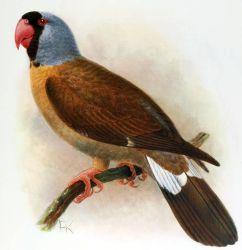 Mascarene Parrot Photo