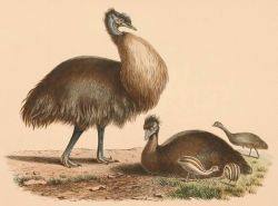 Kangaroo Island emu Photo