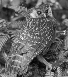 Laughing Owl Photo