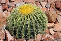 Barrel Cactus Photo