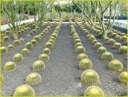 Barrel Cactus Photo