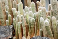 Silver Torch Cactus Photo