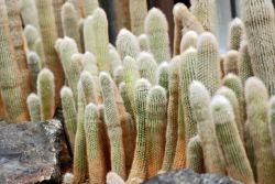 Silver Torch Cactus Photo