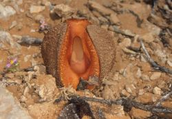 Hydnora Africana Photo