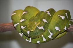 Emerald Tree Boa Photo