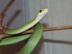 Rough Green Snake Photo