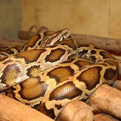 Python (Python Molurus) Photo