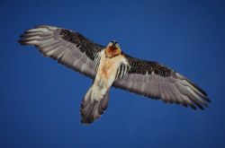 Bearded Vulture Photo