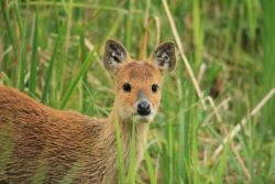 Water Deer Photo