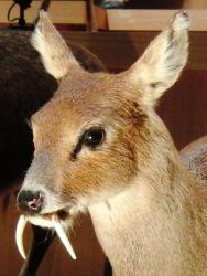 Water Deer Photo