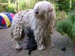Bergamasco Shepherd Photo