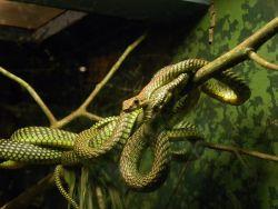 The Flying Snake (Chrysopelea) Photo