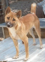 New Guinea Singing Dog Photo