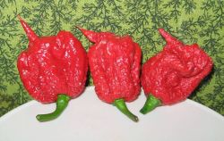 Carolina Reaper, USA Photo