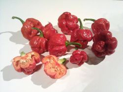 Trinidad Moruga Scorpion, Trinidad Photo