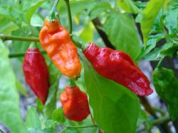 Bhut Jolokia, India Photo