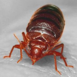 Bed Bugs Photo
