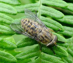 Horse-fly Photo