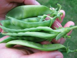 Snow peas Photo
