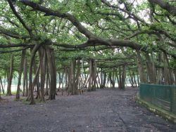 The Great Banyan Photo