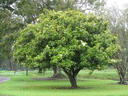 Magnolia Grandiflora Photo