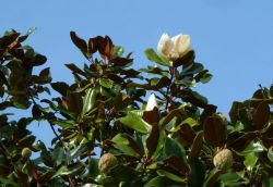 Magnolia Grandiflora Photo