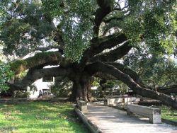 Treaty Oak Photo
