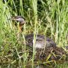 Red-necked Grebe Nest Photo