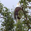 Bald Eagle in Tree Photo
