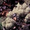 Reindeer Moss or Caribou Moss Lichen Photo
