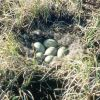 Spectacled Eider Nest Photo