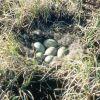 Spectacled Eider Nest Photo