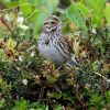 Savanna Sparrow Photo