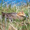 Common Eider Female on Nest Photo