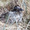 Long-tailed Duck on Nest Photo