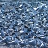 Sandwich Terns Photo