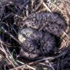 Laughing Gull Chicks in Nest Photo