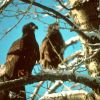 Bald Eagle Fledglings Photo