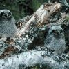 Northern Hawk Owl Chicks Photo