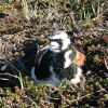 Ruddy Turnstone on Nest Photo