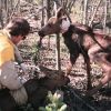 Attaching Tracking Collar to a Moose Calf Photo